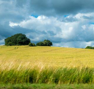 dänisches Getreidefeld